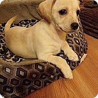 Adopt A Pet :: Blonde Bear - Encinitas, CA