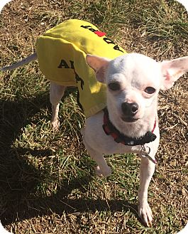 Chihuahua Mix Dog for adoption in San Diego, California - Mochi