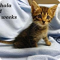 Adopt A Pet :: Shala - Bentonville, AR