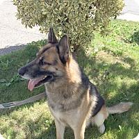 German Shepherd Dog Dog for adoption in Woodinville, Washington - Rommel