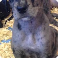 Adopt A Pet :: ROBYN'S LITTER #4 - Pompton Lakes, NJ