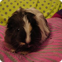 Guinea Pig for adoption in Coral Springs, Florida - Basil (Neutered)