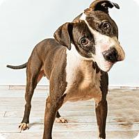 Adopt A Pet :: Noah - Hendersonville, NC