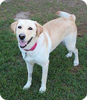 Labrador Retriever Mix Dog for adoption in Shreveport, Louisiana - Punkin