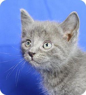 Domestic Shorthair Kitten for adoption in Winston-Salem, North Carolina - Beanie