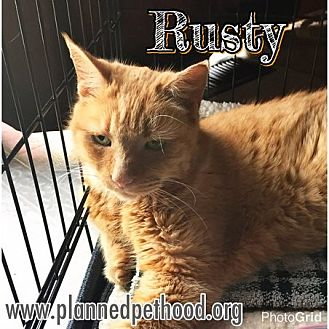 Domestic Shorthair Cat for adoption in Toledo, Ohio - Rusty