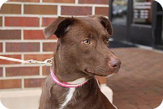 Labrador Retriever Mix Puppy for adoption in Sparta, New Jersey - Quinn