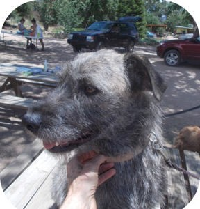 Irish Wolfhound Mix Dog for adoption in Santa Fe, New Mexico - Ya Ya