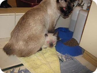Siamese Cat for adoption in Concord, California - HATTIE MANX SEAL POINT GIRL