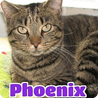 Adopt A Pet :: #3650F Phoenix - Sponsored - Lawrenceburg, KY