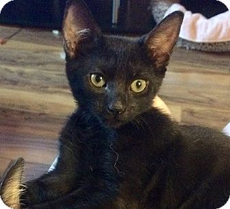 Polydactyl/Hemingway Cat for adoption in Tampa, Florida - Baby