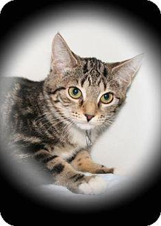 Domestic Shorthair Kitten for adoption in Bradenton, Florida - Coral