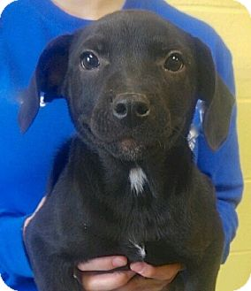Labrador Retriever/German Shepherd Dog Mix Puppy for adoption in Sparta, New Jersey - Rolly