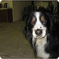 Adopt A Pet :: Auzzie - Wahoo, NE