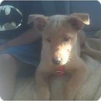 Adopt A Pet :: Cheyenne - Lake Forest, CA