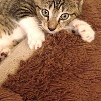 Bengal Kitten for adoption in Sunny Isles Beach, Florida - Tulie