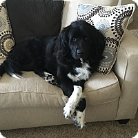 Adopt A Pet :: Bailey - Silverthorne, CO