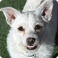 Adopt A Pet :: Harper - Rockwall, TX