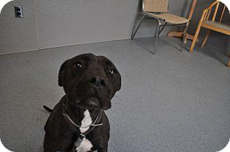 Pit Bull Terrier Mix Dog for adoption in Bay Shore, New York - Nikita