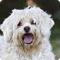 Adopt A Pet :: GUIMAUVE - Ile-Perrot, QC
