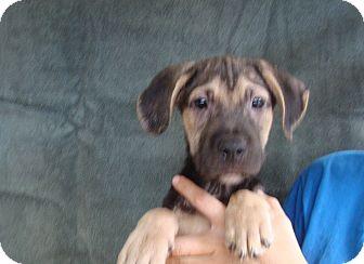 German Shepherd Dog/Boxer Mix Puppy for adoption in Oviedo, Florida - Kenny