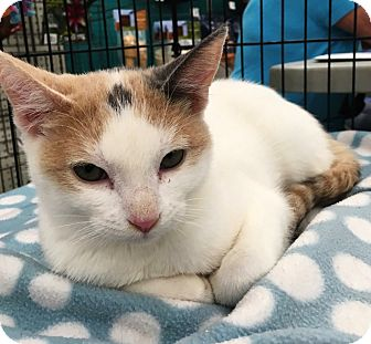 Calico Cat for adoption in Riverside, California - Eve