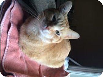 Domestic Shorthair Cat for adoption in Okotoks, Alberta - Oliver