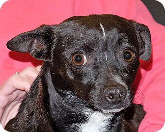 Chihuahua Mix Dog for adoption in Spokane, Washington - Weston