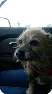 Wirehaired Fox Terrier Mix Dog for adoption in Bakersfield, California - Heidi