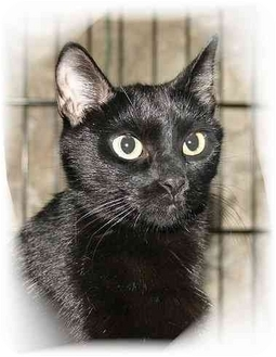 Domestic Shorthair Cat for adoption in Montgomery, Illinois - Ebby
