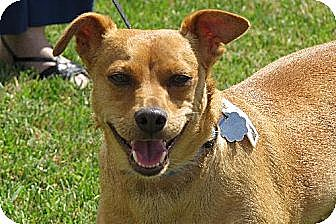Manchester Terrier/Chihuahua Mix Dog for adoption in Santa Monica, California - Jojo