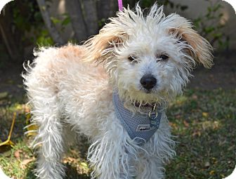 Poodle (Miniature)/Maltese Mix Puppy for adoption in Los Angeles, California - Oliver