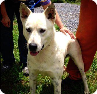 Cattle Dog Mix Dog for adoption in Manhasset, New York - Jimmy