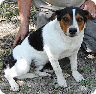 Australian Cattle Dog/Beagle Mix Dog for adoption in Staunton, Virginia - Beanz