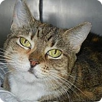Domestic Shorthair Cat for adoption in Miami, Florida - Stella
