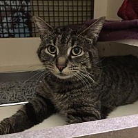 Domestic Shorthair Cat for adoption in New York, New York - Sam