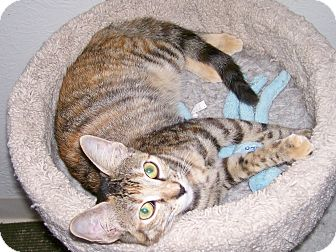 Domestic Shorthair Kitten for adoption in Scottsdale, Arizona - Julie