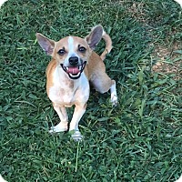 Chihuahua Puppy for adoption in Ardmore, Oklahoma - Nano