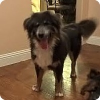 Chow Chow/Australian Shepherd Mix Dog for adoption in Mansfield, Texas - Lucky