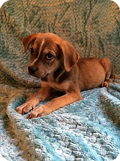 Boxer/Pointer Mix Puppy for adoption in SOUTHINGTON, Connecticut - Boston