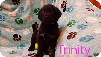 Shepherd (Unknown Type)/Labrador Retriever Mix Puppy for adoption in Hainesville, Illinois - Trinity