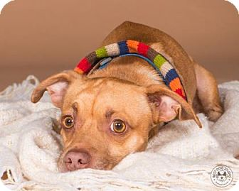 Chihuahua Mix Dog for adoption in Northbrook, Illinois - Jorge