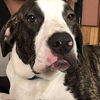 American Pit Bull Terrier Puppy for adoption in Cameron, North Carolina - Sapphire