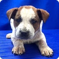 Adopt A Pet :: Gidget - Show Low, AZ