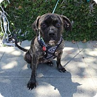 Adopt A Pet :: Penny Lane - Los Angeles, CA