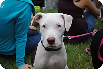 American Pit Bull Terrier/Hound (Unknown Type) Mix Puppy for adoption in Orlando, Florida - Darla