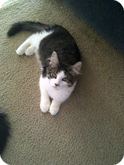 Maine Coon Cat for adoption in San Ramon, California - Baby