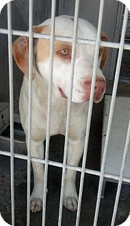 Labrador Retriever Mix Dog for adoption in San Diego, California - Hansel URGENT