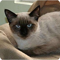 Siamese Cat for adoption in Houston, Texas - Taizo