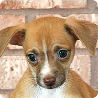 Adopt A Pet :: Matty-Adoption pending - Bridgeton, MO